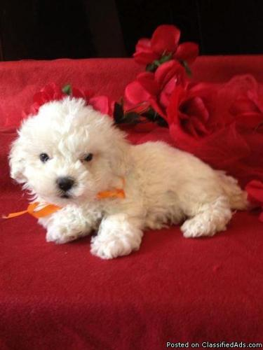 Maltipoo Puppies Maltese Poodle 4 5lbs Grown Mf In Raleigh