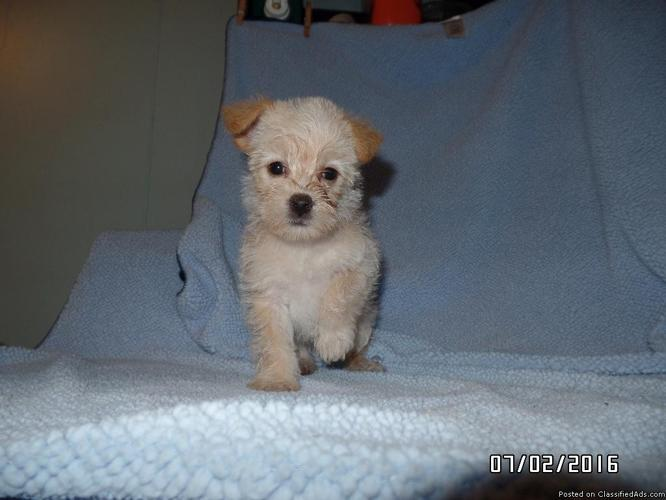 Maltipoo pups in Magee, Mississippi   CannonAds com
