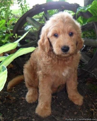Marley Goldendoodle