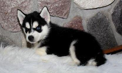Marvelous & Lovely Siberian Husky puppies Available. Text (949) 793-7682