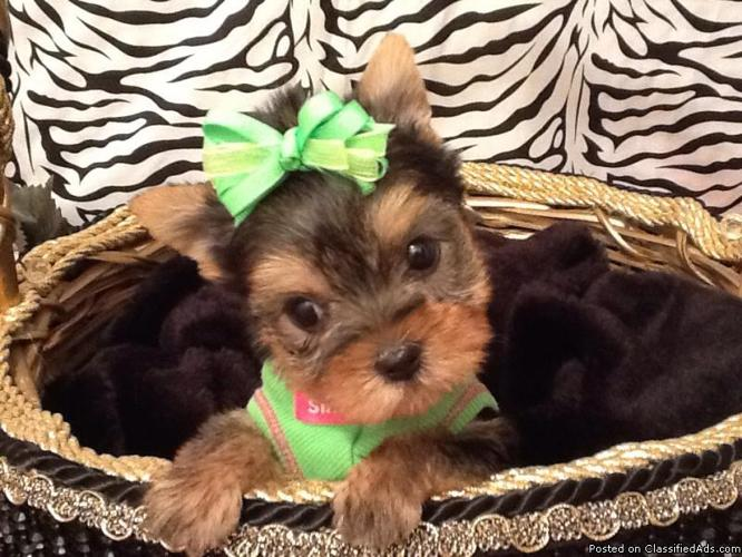 MICRO TEACUP YORKIE MALTESE MORKIE PUPPIES FOR SALE / PET