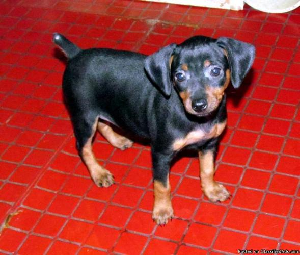 Min Pin puppies for sale - Price: $300.00