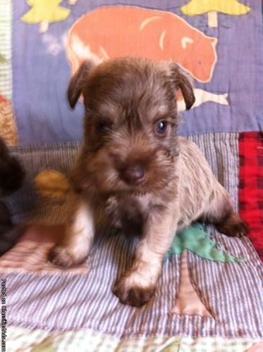 Minature Schanuzer Puppy (male)