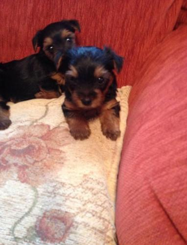 minature / teacup yorkie terriers
