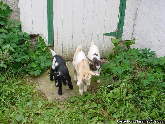 Mini alpine and Nigerian Dwarf goats for sale - Price: $75