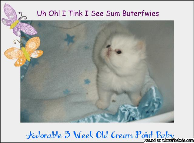 Mini Persian Kittens