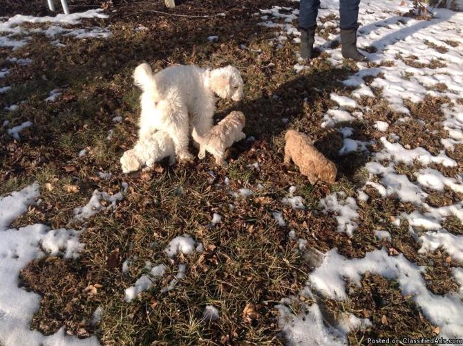 Mini Poodle puppies for sale in Gardners, Pennsylvania | CannonAds com