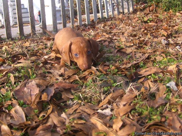 Miniature Dachshund Puppies For Sale In Birmingham Alabama Price