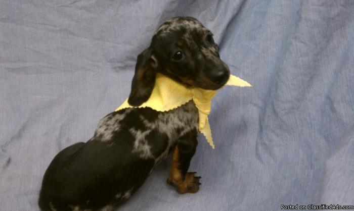 Miniature Dachshund Puppy For Sale in South Florida Dapple Color in