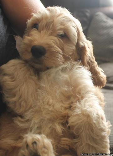 Miniature Golden Doodle Puppies F1bonly 2 Left For Sale