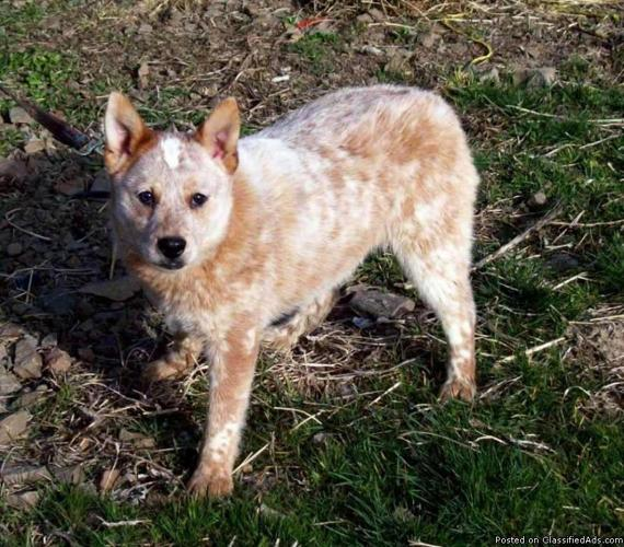 Miniature red heeler male 6 months old price 150 in prineville
