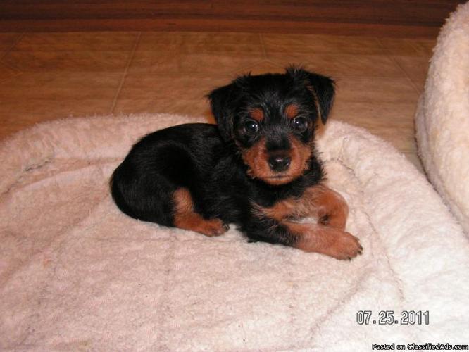 MinPin/Yorkie Pups--9 wks - Price: 250.00