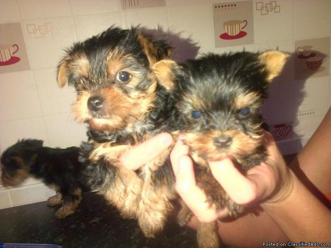 Morkie Puppies Ready for Adoption! AKC Parents  1/2 Maltese