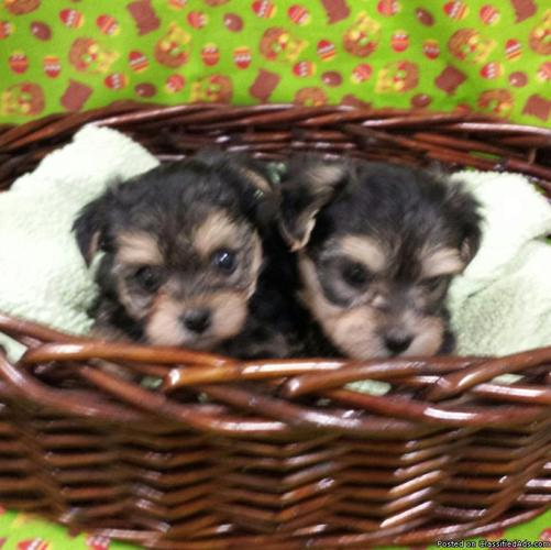 MORKIE PUPPIES!!! TEACUP AND TOYS...{maltese/yorkie}
