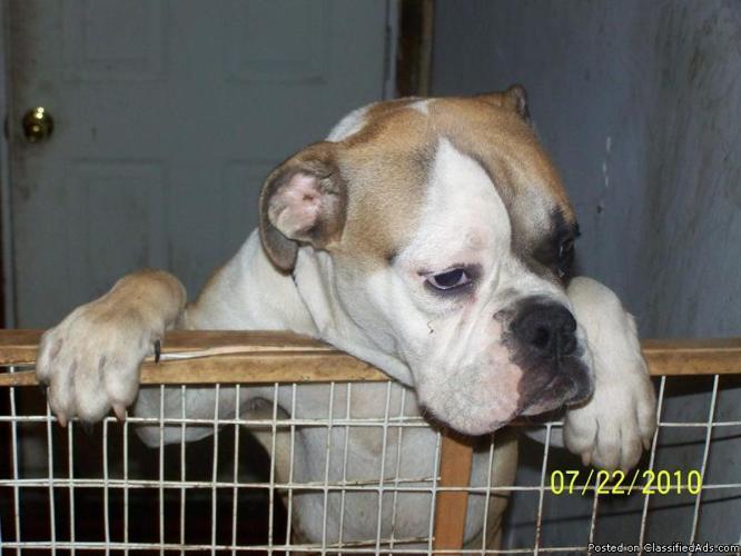 Olde English Bulldog Puppy - Price: $800