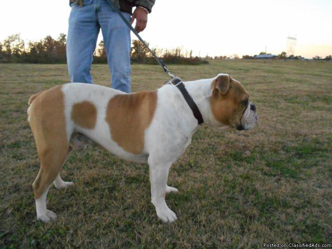 Olde English Bulldogs for sale in Holly Pond, Alabama