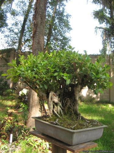 orlando bonsai trees - Price: $49.00