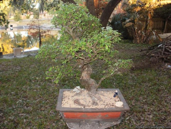 Orlando indoor bonsai - Price: 59.00