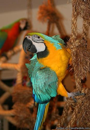 Outstanding Blue And Gold Macaw Parrots For Adoption.