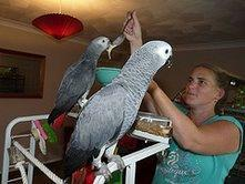 Pair of African grep parrots.