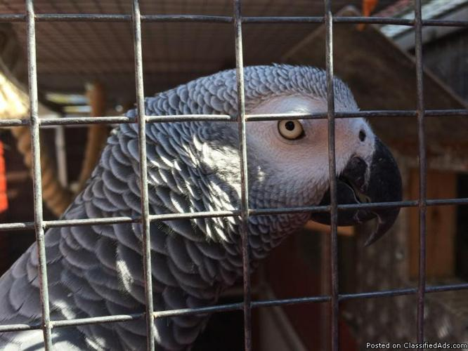 Pair Of African Greys Congo Parrots