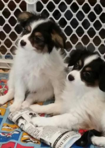 Papillon Males 11 Weeks 2/2015