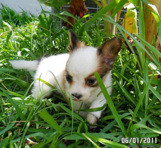 Papillon Puppies ( CKC) Reg. - Price: $425.00 to $550.00