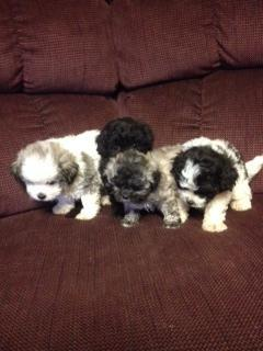 Peke-a-Poo Puppies Ready to Love!