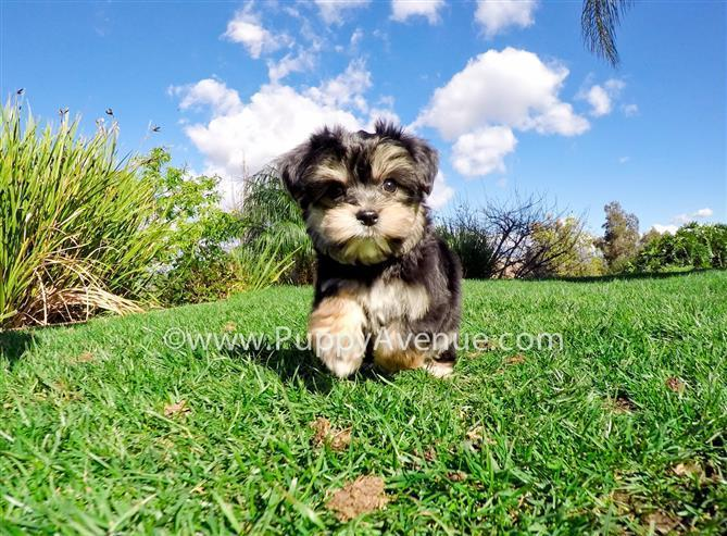 Perfect Combo // Male Morkie Puppy for Sale // Sweetest Temperament!