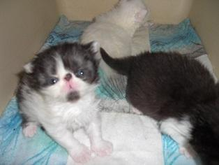 Persian Kittens in Fort Pierce, Florida | CannonAds com
