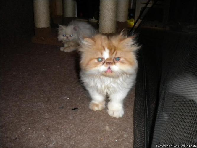 Persian Kittens For Sale - Price: 300 00 in Flemington