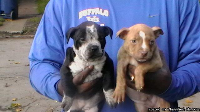 PIT BULL FOR SALE - Price: $275-300W/PAPERS