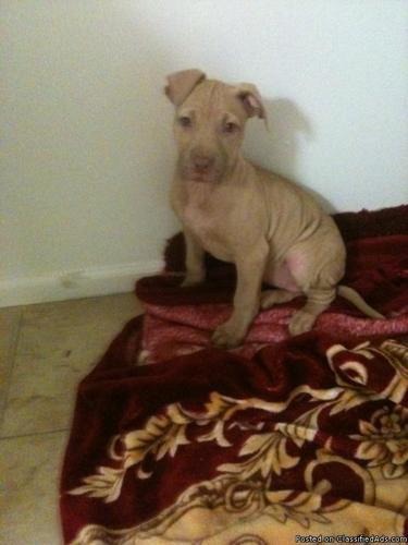 Pitbull Puppy for sale - Price: $250