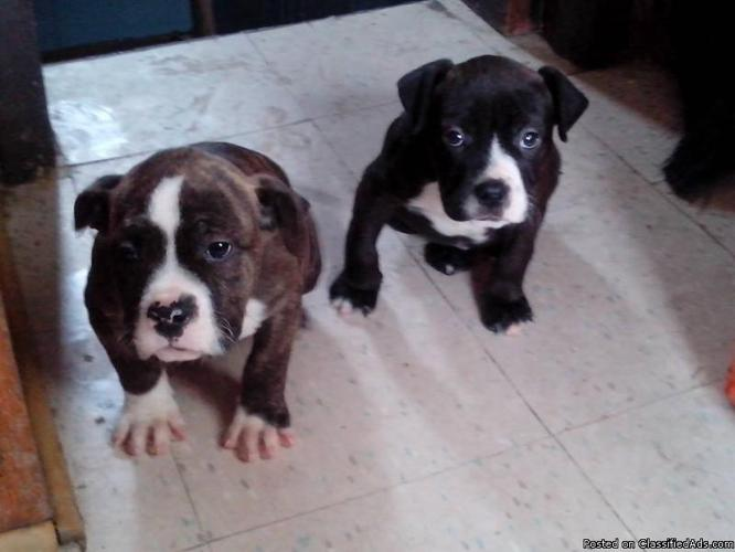 pitbull pups bluenose/bully