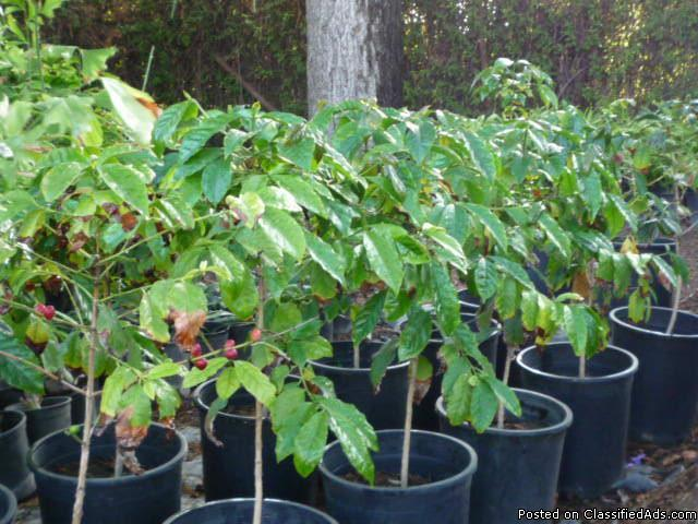 coffee plants for sale image search results