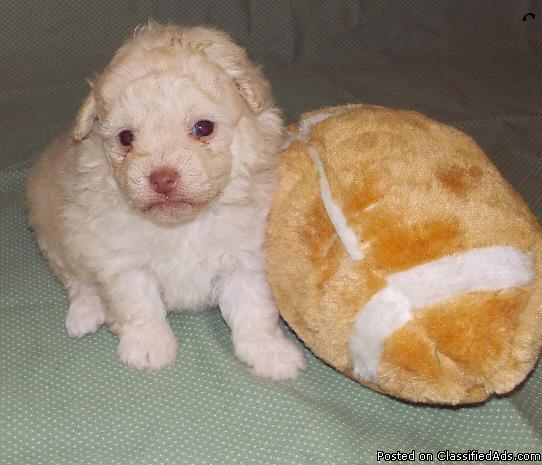 Pomapoo puppies for sale in North Port, Alabama | CannonAds com