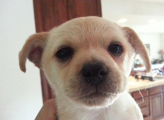 Pomchipoo puppy
