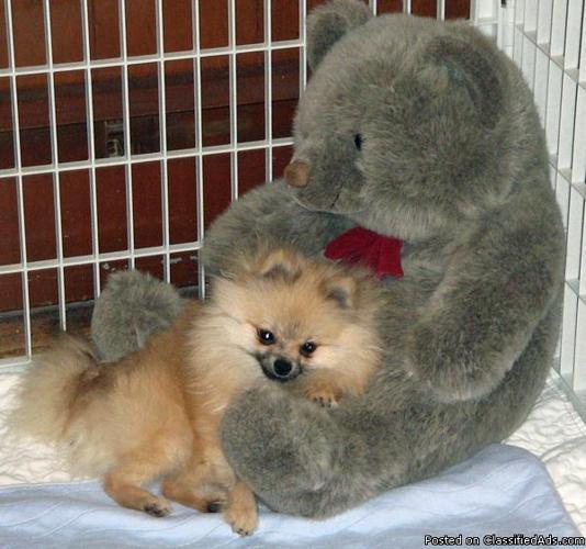 Pomeranian AKC. cream sable