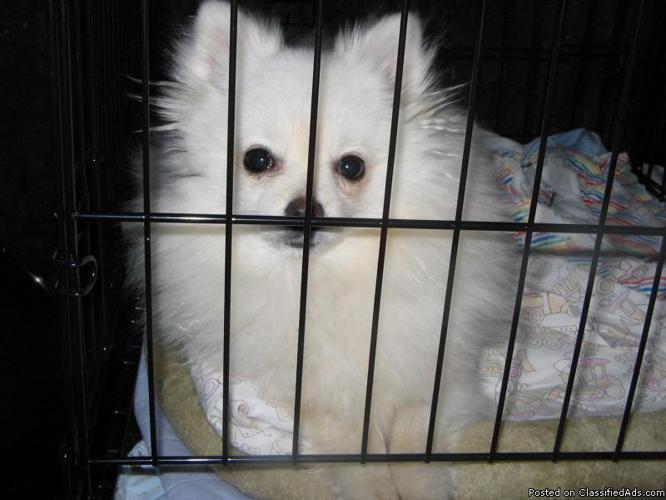 Pomeranian AKC female white