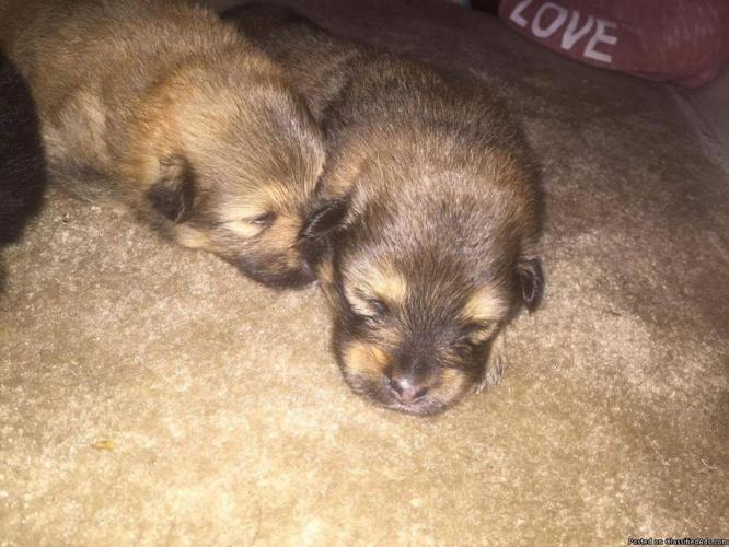 Pomeranian puppies in Charlotte, North Carolina   CannonAds com