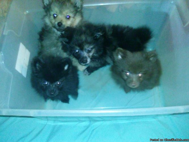 Pomeranian puppies for sale!!! in Amite, Louisiana | CannonAds com