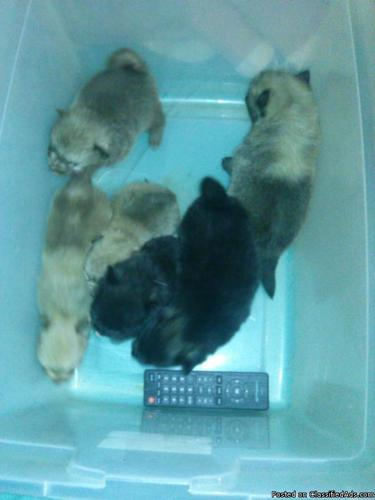 Pomeranian puppies for sale!!! in Amite, Louisiana   CannonAds com