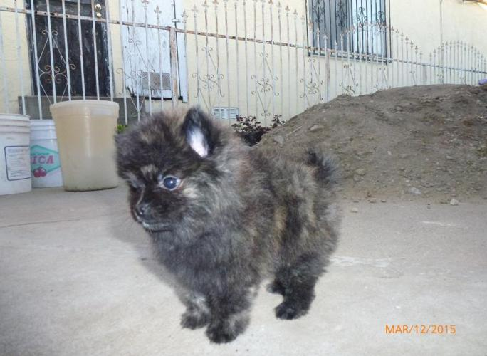 Pomeranian puppies for sale in Inglewood, California