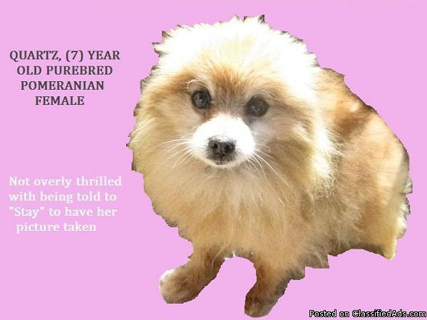 POMERANIAN, PUREBRED SABLE FEMALE DOG, DEBARKED, 7 Y O  in