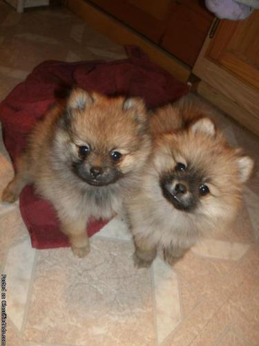 pomeranian teacum puppy - Price: 500
