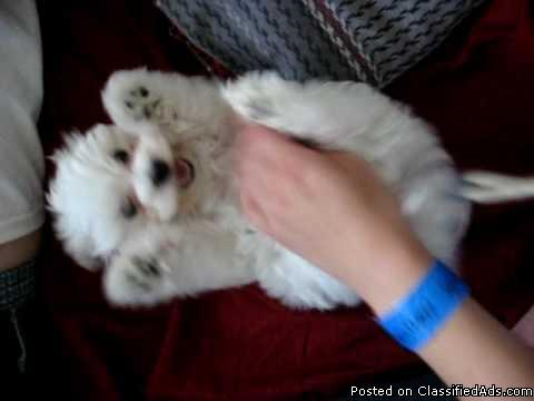 Potty Trained Maltese Puppies Ready to Go
