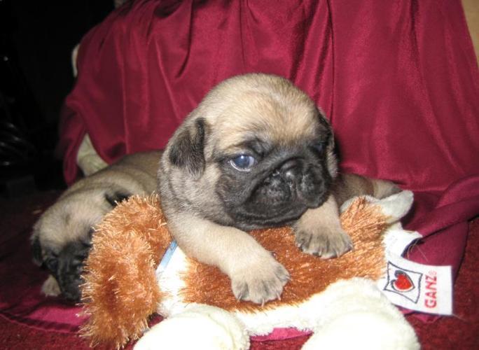Pug Puppies in Hendersonville, North Carolina | CannonAds com