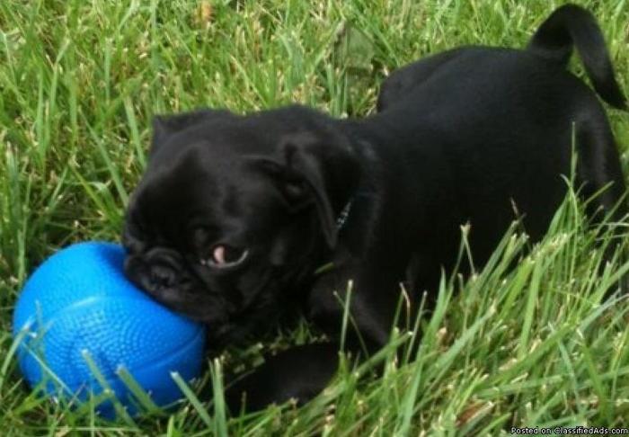 PUG Puppies Purebred Registered in Kansas City, Missouri
