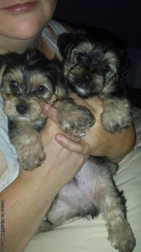 Puppies for sale at omg-puppies(yorkies) (harrisburg pa) in