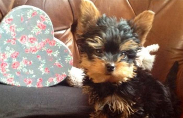 Pure Bred Yorkie Puppies in Louisville, Kentucky | CannonAds com